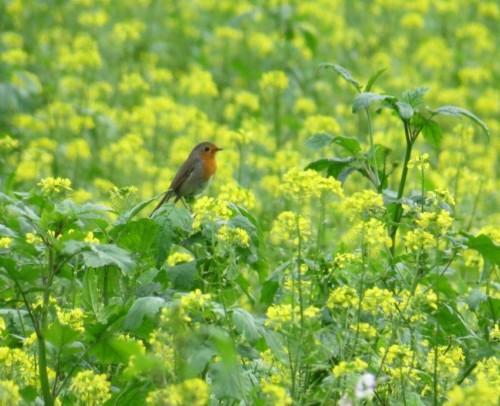 Robin011
