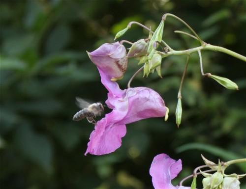 Biene - Unbekannt-01