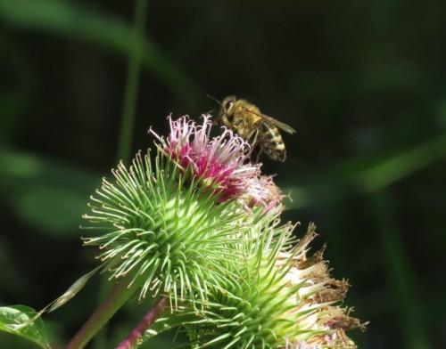 Biene - Unbekannt-02