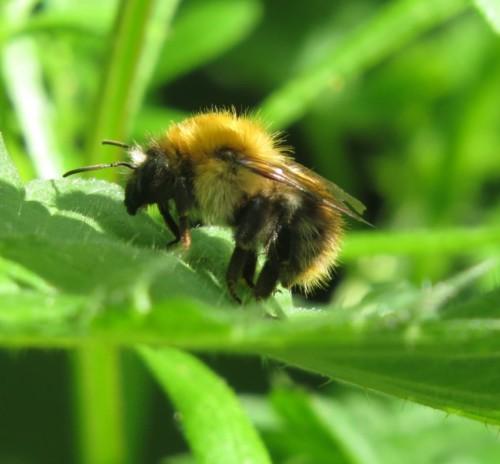 Biene - Unbekannt-05
