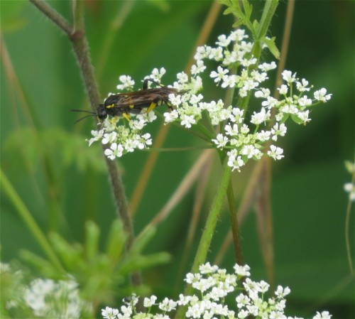 Blattwespe-Tenthredo maculata-01
