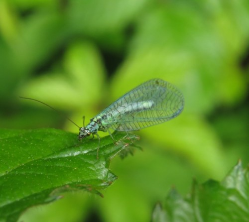 BlaueFlorfliege-Chrysopa perla-02