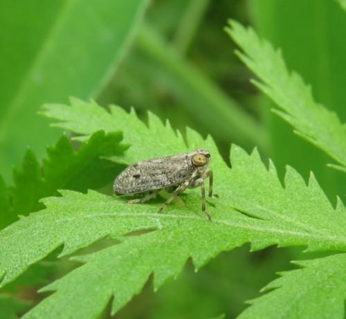 EchteKäferzikade-Issus coleoptratus-02