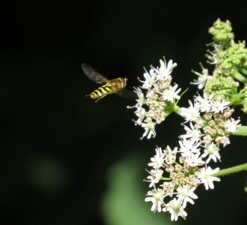 Fliege - Unbekannt-11