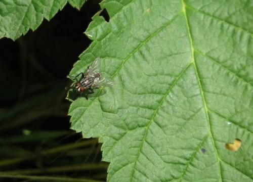Fliege - Unbekannt-14