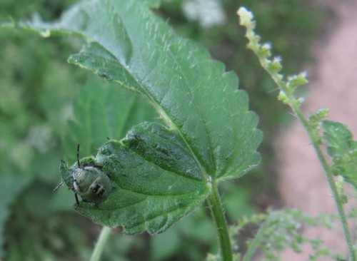 Grüne Stinkwanze,Larve-01
