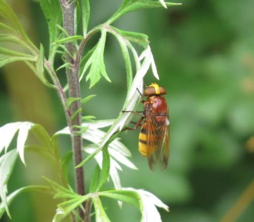 Hornissenschwebfliege-01
