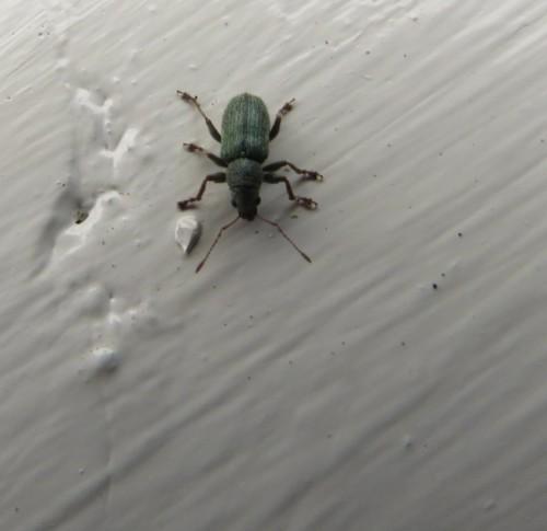 Rüsselkäfer-Phyllobius virideaeris