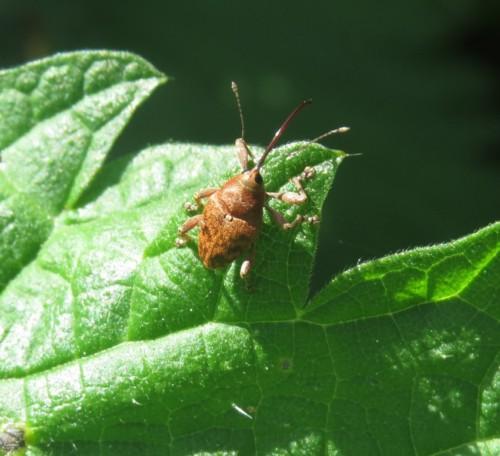 Rüsselkäfer-Phyllobius virideaeris03