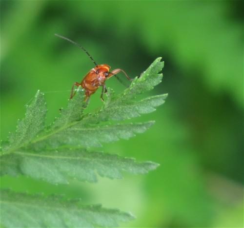 RoterFliegenkäfer01