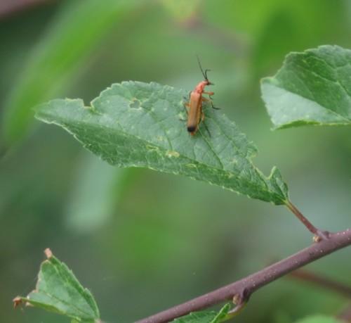 RoterFliegenkäfer02