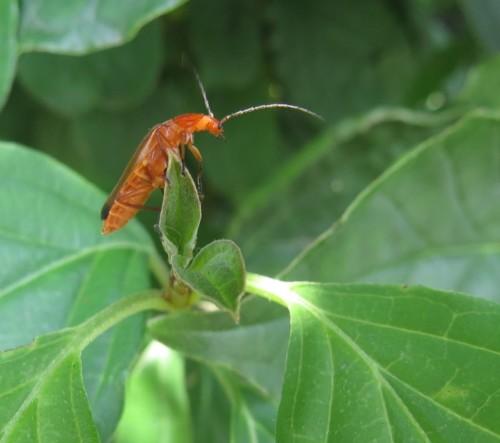 RoterFliegenkäfer05