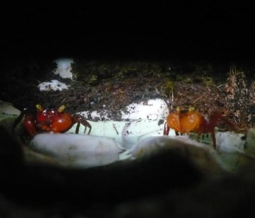 2014 - Mandarinkrabbe - Geosesarma nothophorum