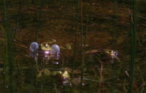 004Amphibians-edible frog