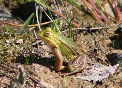 005Amphibians-edible frog