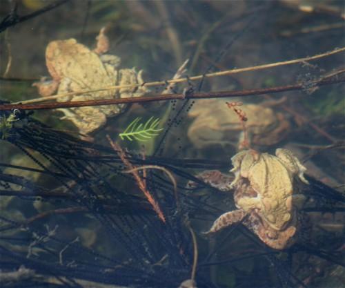 008Amphibians-common toad