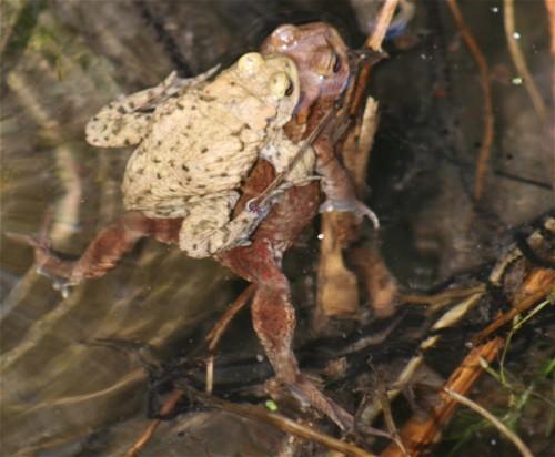 010Amphibians-common toad
