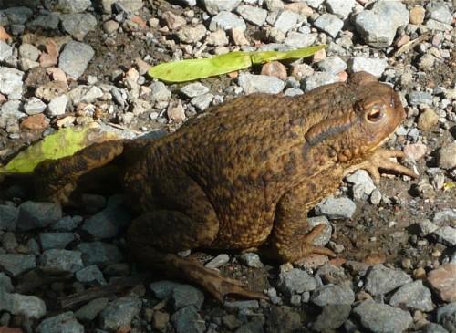 012Amphibians-common toad