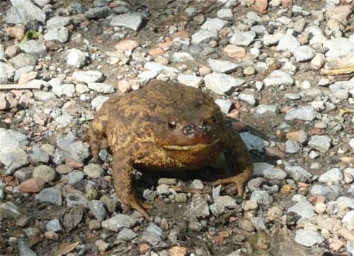 013Amphibians-common toad