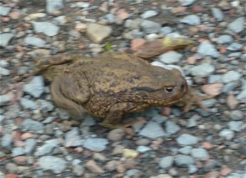 014Amphibians-common toad