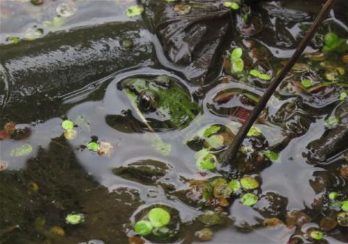 015Amphibians-pool frog