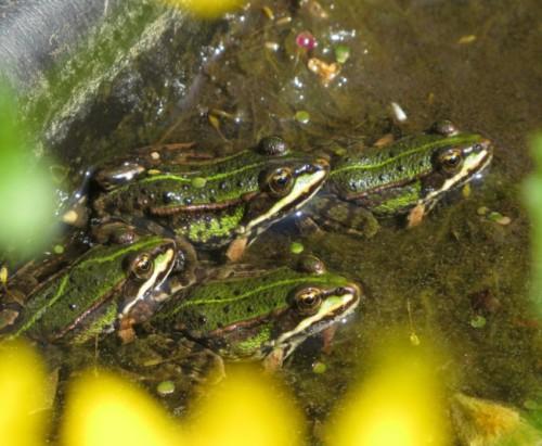 018Amphibians-pool frog