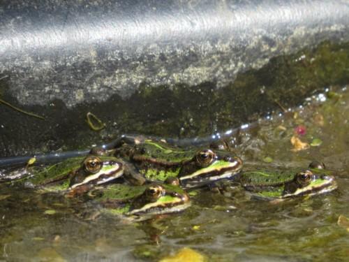 019Amphibians-pool frog
