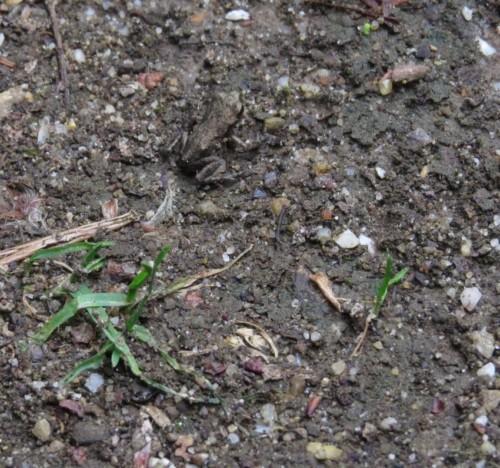 024Amphibians-common toad