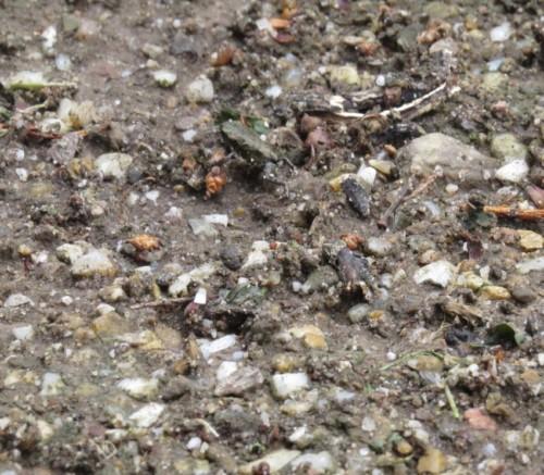 025Amphibians-common toad