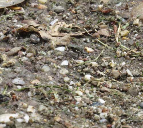 027Amphibians-common toad