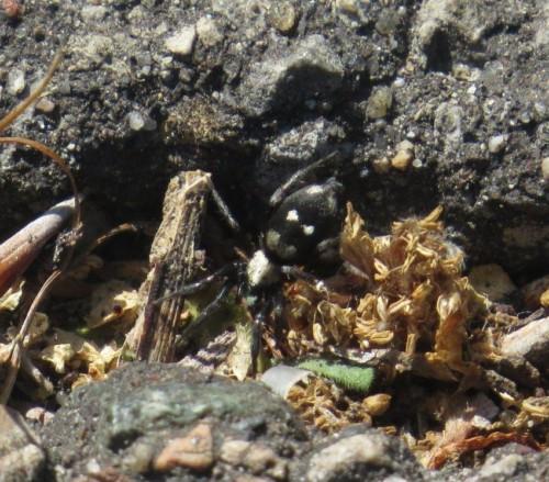 103Spinnentier-Plattbauchspinne(Callilepis n.)