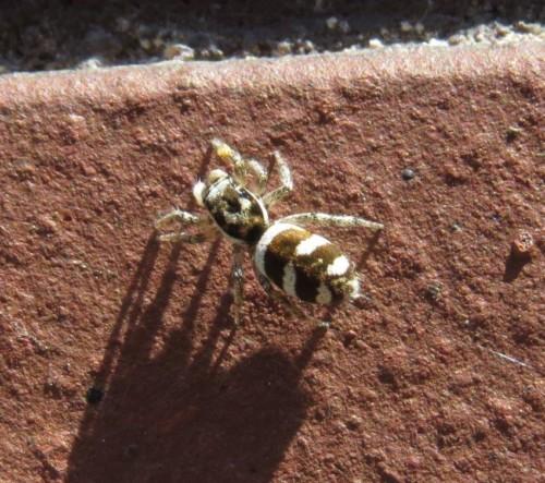 105Spinnentier-Zebra-Springspinne