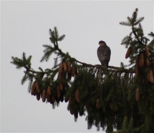 Sparrowhawk001