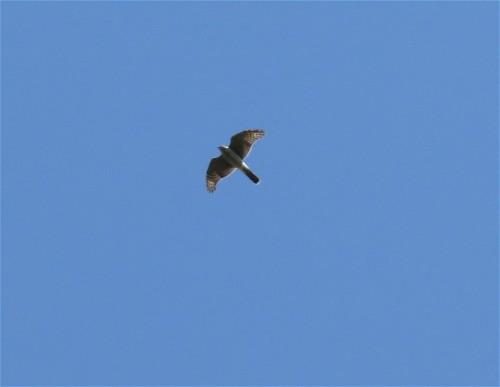 Sparrowhawk002