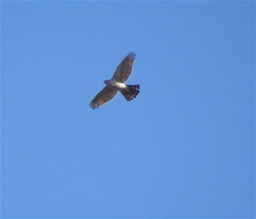 Sparrowhawk003