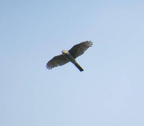 Sparrowhawk004