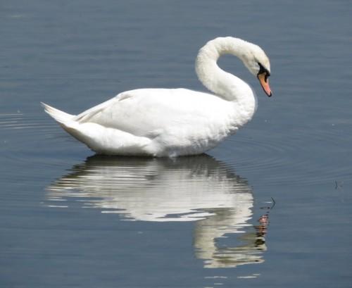 Swan001
