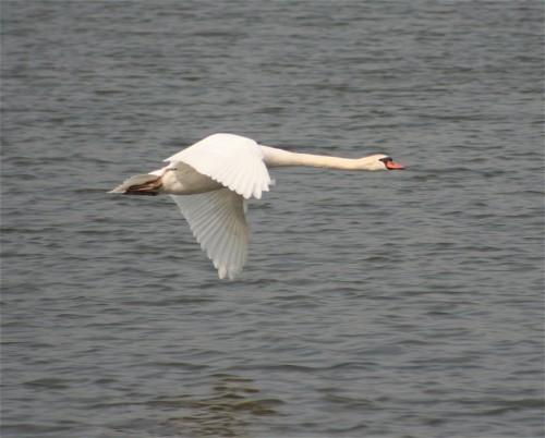 Swan004