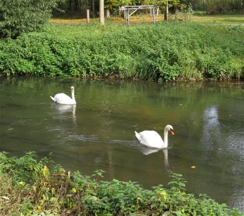 Swan009