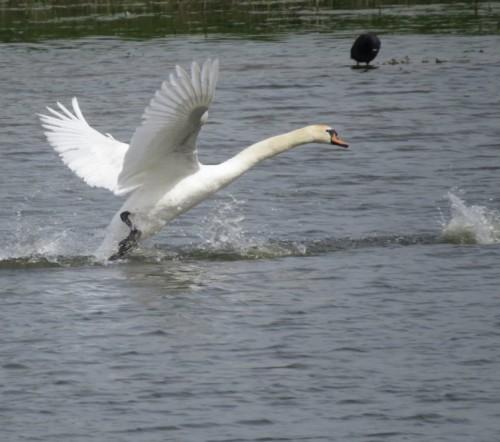 Swan010