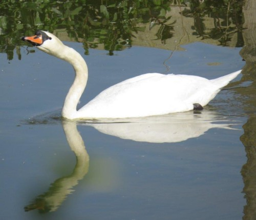 Swan011