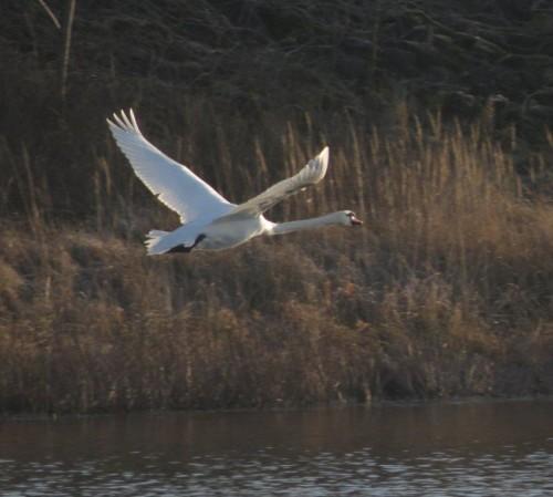 Swan013