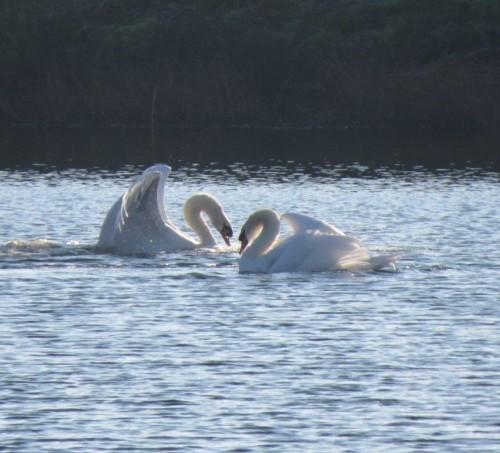 Swan014