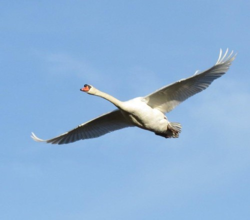Swan015