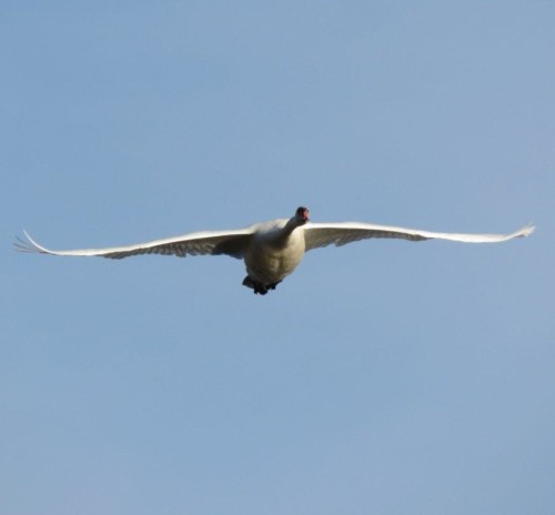 Swan016