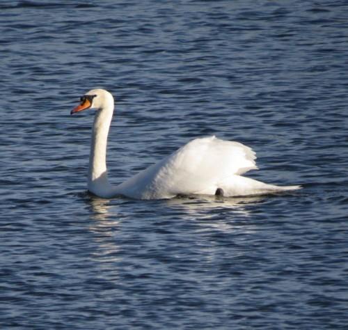 Swan017