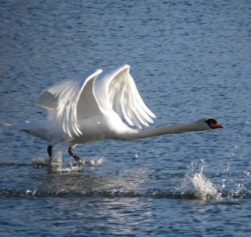 Swan018