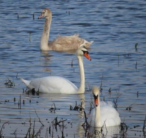 Swan019