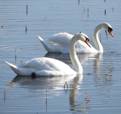 Swan021