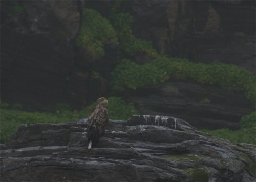 White-tailedEagle004